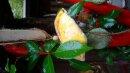 Meisenknödeldach gelb-orange